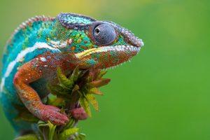 7 Fakta Unik Tentang Bunglon, Hewan yang Dapat Berubah Warna