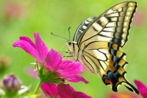 5 Fakta Unik Tentang Kupu Kupu, Serangga Kecil dengan Sayap Indah
