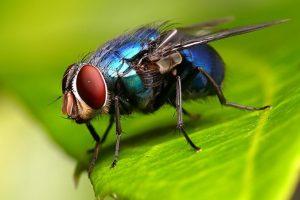 5 Fakta Unik lalat, Serangga Kecil dengan Gerak Terbang yang Lincah