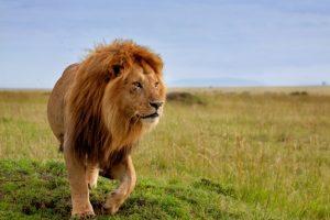 5 Fakta Unik Tentang Singa, Hewan Buas Si Raja Hutan