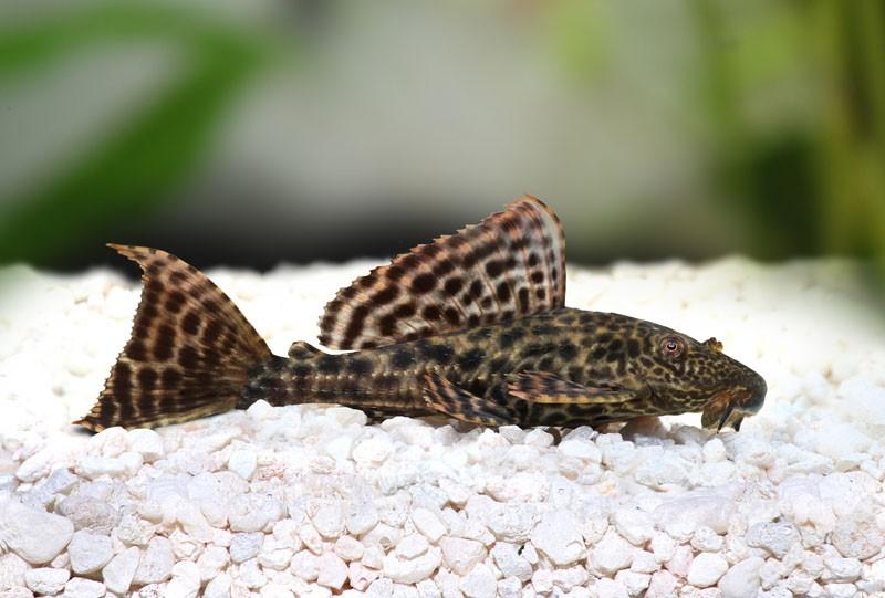 5 Fakta Unik Tentang Ikan Sapu Sapu, Ikan Pembersih Akuarium