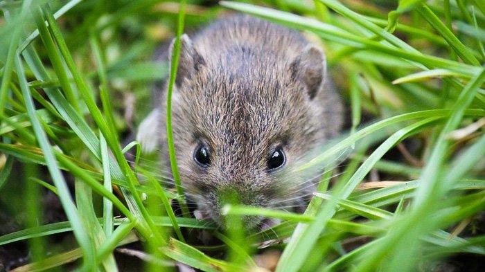 7 Fakta Unik Tikus, Hewan Pengerat yang Suka Merusak Tanaman