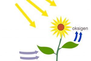 Proses Fotosintesis Pada Tumbuhan | Pengertian, Reaksi, Gambar dan Faktor yang Mempengaruhi