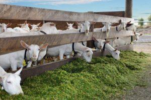 10 Peluang Usaha/Bisnis Ternak yang Paling Menguntungkan