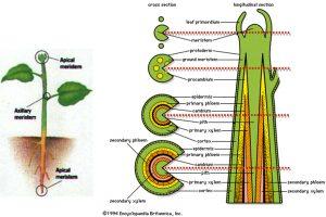 Sudah Tahu Belum Apa Itu Jaringan Tumbuhan dan Apa Saja Jenisnya?