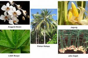 Ulasan Singkat Tentang Tumbuhan Monokotil Beserta Ciri dan Contohnya